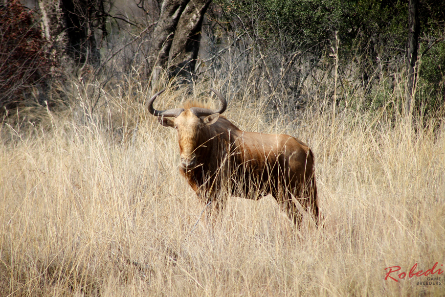 Golden Wildebeest Breeding Project
