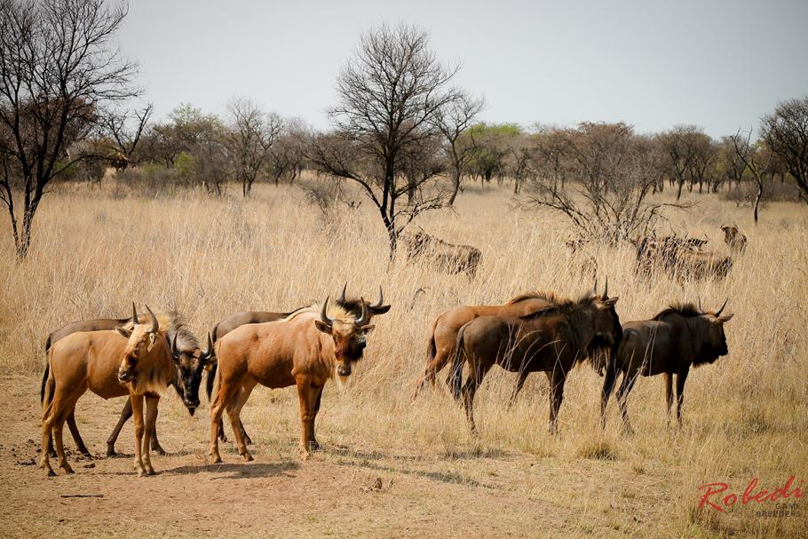 robedi_gold_wildebeest-4