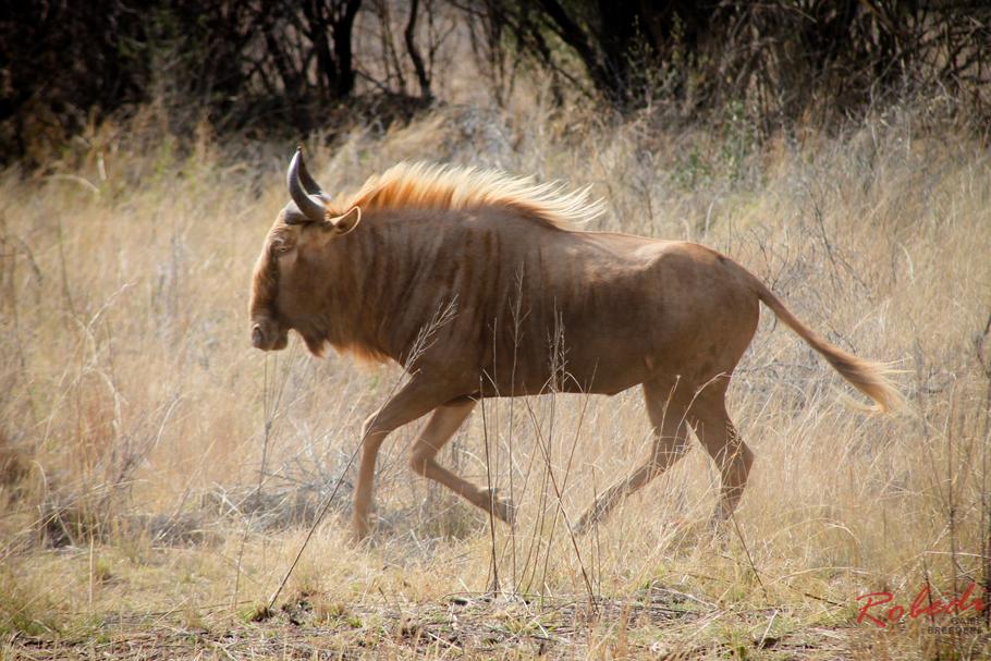 robedi_gold_wildebeest-7