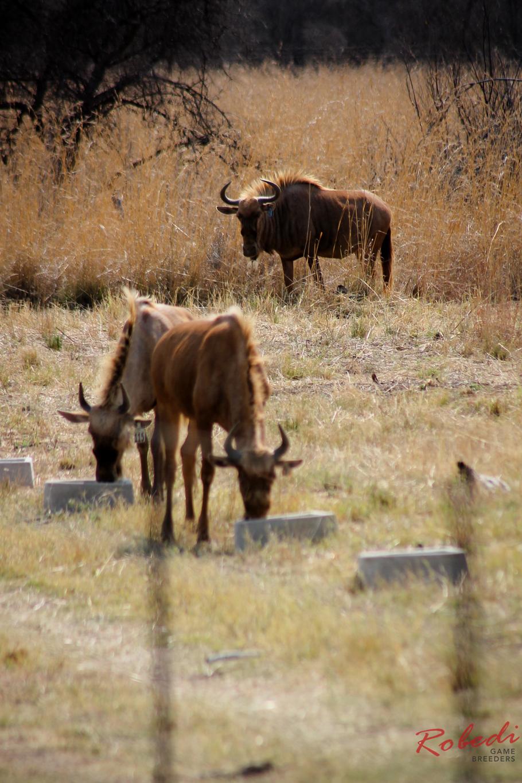 robedi_gold_wildebeest-9