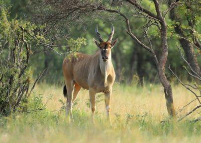 No Tag Eland Bull-H2A_0050
